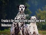 Hrvatska je domovina svjetski poznate pasmine pasa Dalmatiner.
